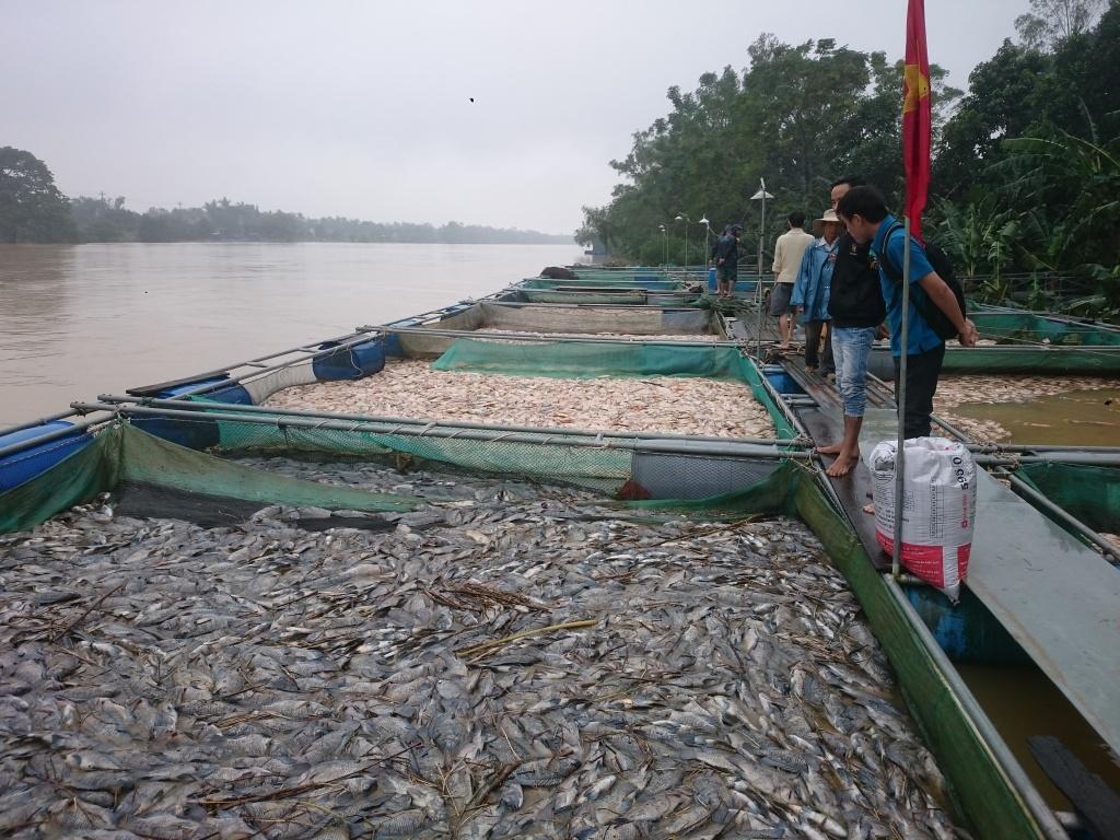 Hàng trăm tấn cá chết trắng lồng sau bão số 12, ngư dân rơi vào cảnh lao đao 3