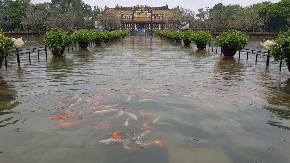 Cảnh hiếm gặp: Đàn cá chép vàng tung tăng bơi lội ở sân Đại nội Huế sau mưa lũ 1