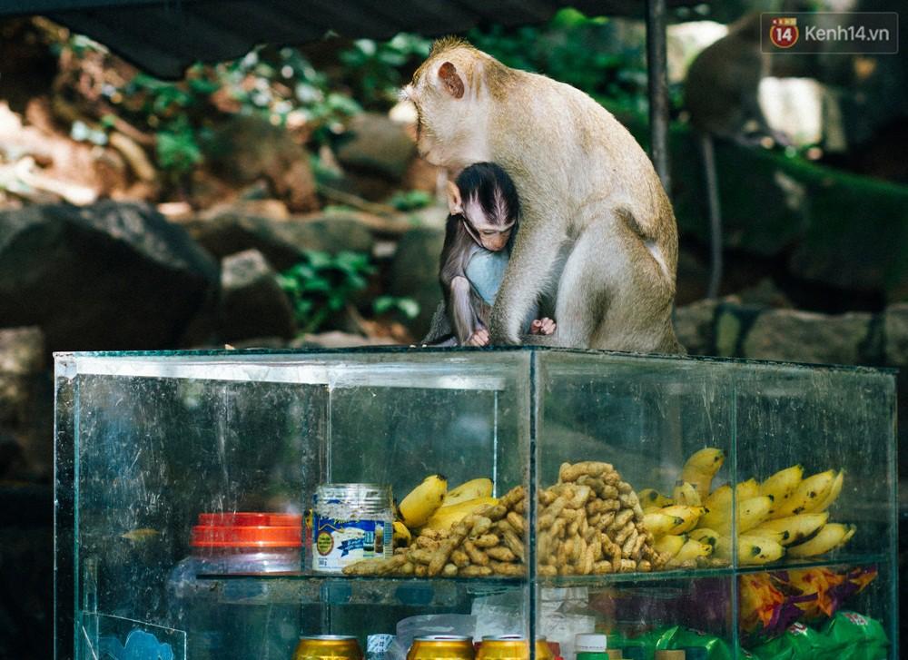Chùm ảnh: Chuyện về đàn khỉ đuôi dài nương náu trong ngôi chùa ở Vũng Tàu, sống nhờ thức ăn của du khách 12