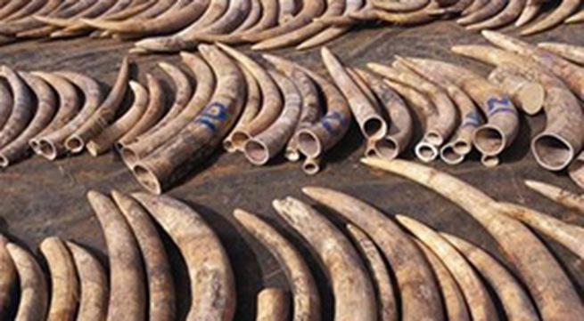 Phát hiện 47kg ngà voi vận chuyển trái phép từ Đức về Việt Nam 1
