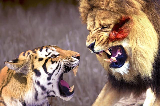 Câu chuyện hổ và sư tử con nào mạnh hơn: Bài học cho chúng ta! 1