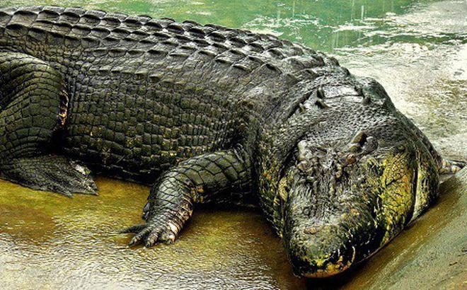 Bí mật về cá sấu