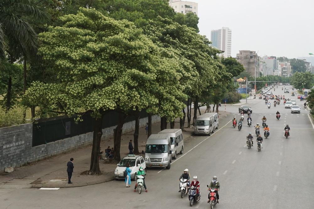 Công ty Cây xanh khẳng định Hà Nội có 6000 cây hoa sữa, số lượng này là rất ít 2