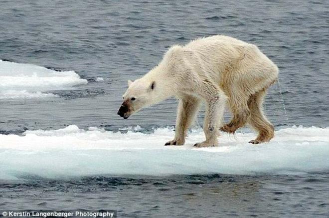 Cảnh tượng ám ảnh: Gấu Bắc Cực gầy trơ xương trên hòn đảo... không băng 5