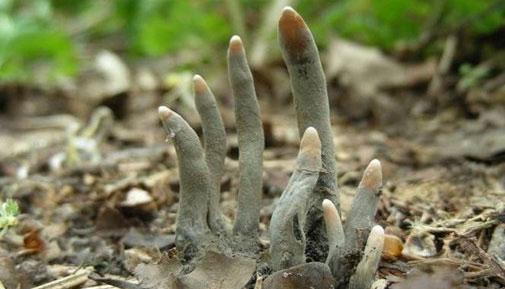 Hãi hùng nấm ngón tay trồi lên như thây ma 1