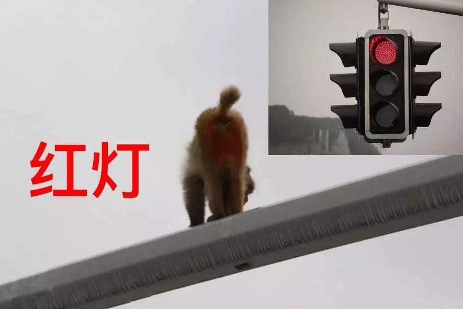 Hy hữu: Nhìn nhầm mông khỉ thành đèn đỏ, người phụ nữ gây ra vụ tai nạn  2