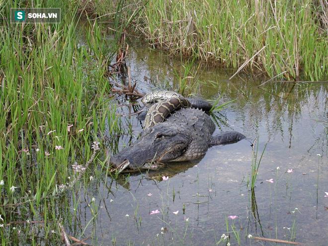 Tham lam nuốt chửng con mồi dài 2m, trăn Miến Điện rách ruột, nằm chết nổi trên nước 1
