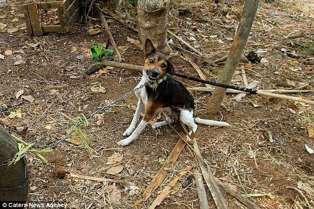 Hình ảnh rùng rợn trong những trang trại thịt chó: Nỗi đau của những chú chó phải chứng kiến cái chết của đồng loại 6