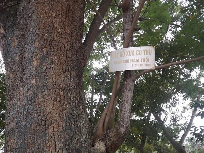 Đòi bán cây sưa 400 tuổi giá 100 tỷ: Huyện Thuận Thành nói gì? 1