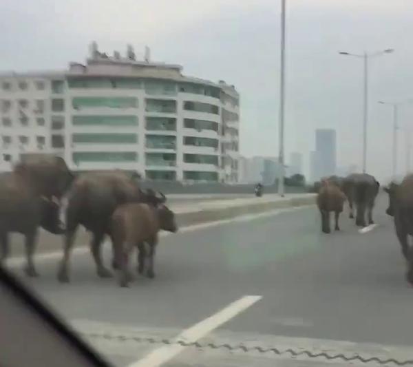 Hình ảnh Đàn trâu thả rông ngang nhiên đi giữa phố phường Hà Nội gây cản trở giao thông số 1