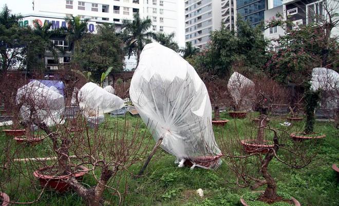 Hà Nội: Người dân lắp điều hòa, bật quạt sưởi, bọc nilon chống rét cho đào Tết 7