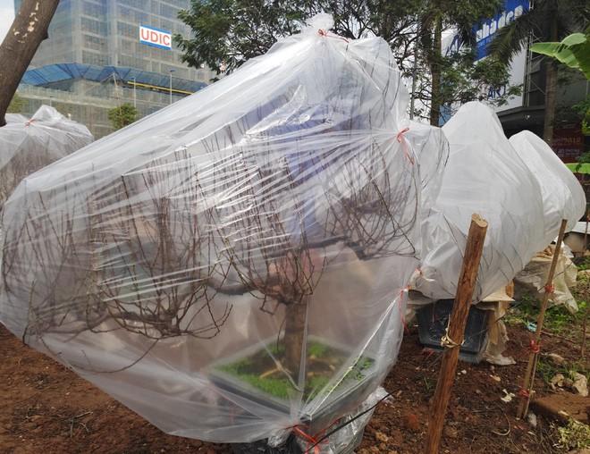 Hà Nội: Người dân lắp điều hòa, bật quạt sưởi, bọc nilon chống rét cho đào Tết 10