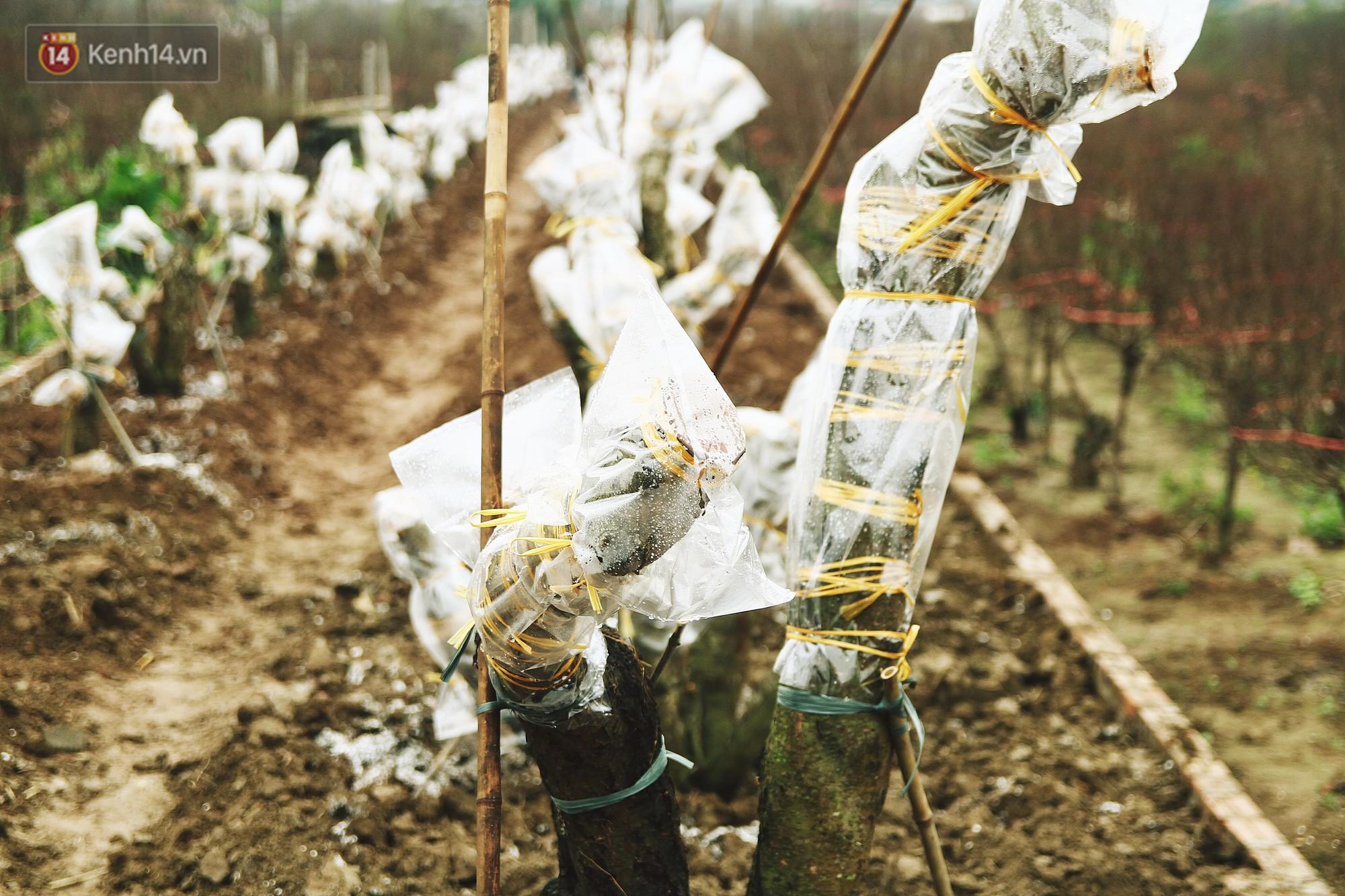 Người dân làng đào Nhật Tân: Từ giờ đến Tết mà rét thế này thì đào không nở hoa kịp mất! - Ảnh 3.