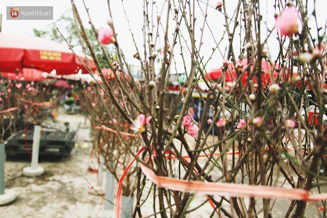 Hình ảnh Người dân làng đào Nhật Tân: Từ giờ đến Tết mà rét thế này thì đào không nở hoa kịp mất! số 9