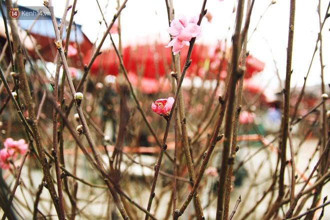 Hình ảnh Người dân làng đào Nhật Tân: Từ giờ đến Tết mà rét thế này thì đào không nở hoa kịp mất! số 11