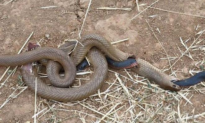 Đang nuốt dở con mồi, rắn nâu bị rắn đen đục thân thoát ra ngoài ngoạn mục - Ảnh 7.