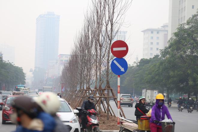 Cận cảnh cây phong lá đỏ mới được trồng trên đường phố Hà Nội 4