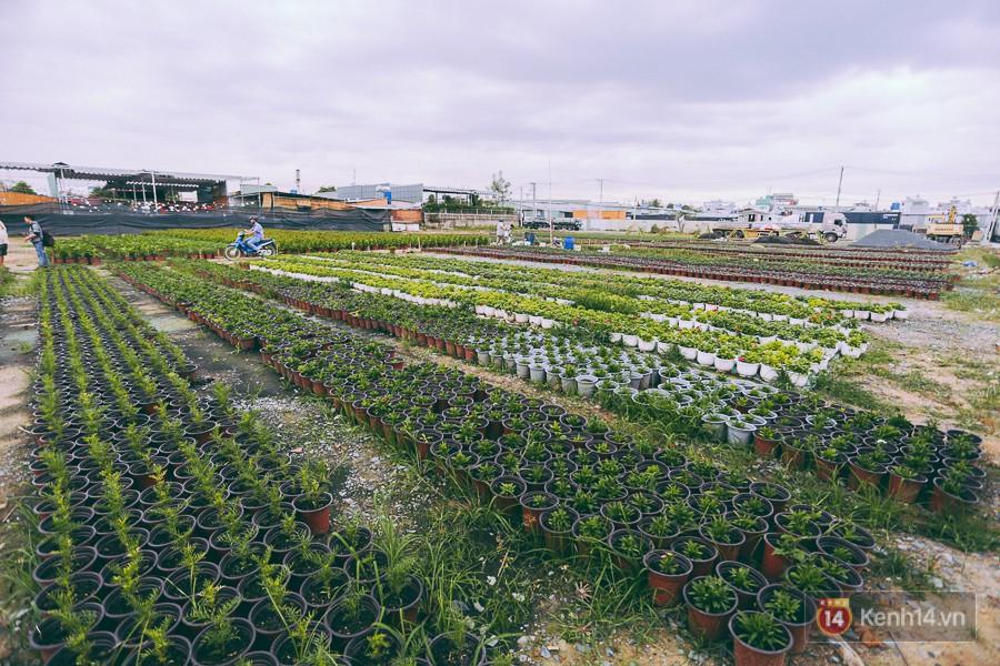Chùm ảnh: Cánh đồng hoa lớn nhất Sài Gòn bắt đầu chớm nụ chào Tết, chủ vườn phải thuê cả chục người trông 1