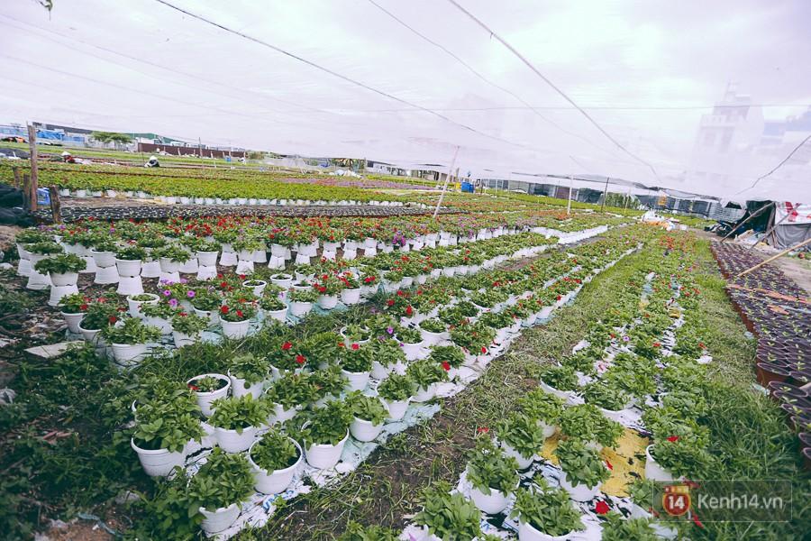 Chùm ảnh: Cánh đồng hoa lớn nhất Sài Gòn bắt đầu chớm nụ chào Tết, chủ vườn phải thuê cả chục người trông 10
