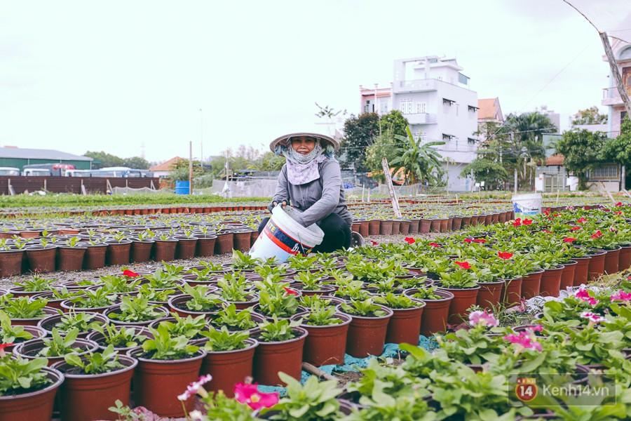 Chùm ảnh: Cánh đồng hoa lớn nhất Sài Gòn bắt đầu chớm nụ chào Tết, chủ vườn phải thuê cả chục người trông 6