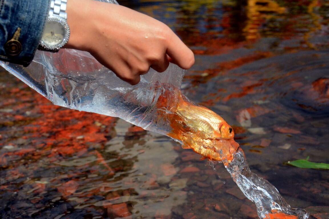 Cách thả cá chép tiễn Táo quân về trời đúng cách để mang lại may mắn  1