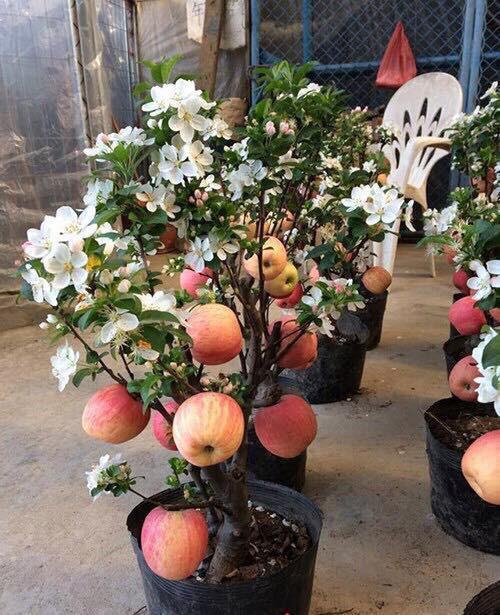 Cảnh báo táo đỏ Trung Quốc nguyên cây trưng Tết có độc, cấm ăn 1