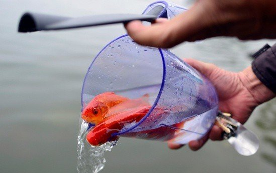 Cách chọn cá chép cúng Tết ông Táo