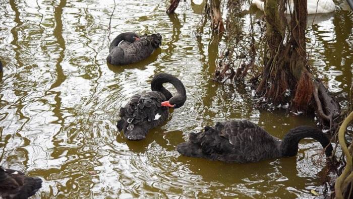 Chuyên gia tiết lộ giá 'khủng' về mỗi con chim thiên nga thả ở hồ Gươm 1