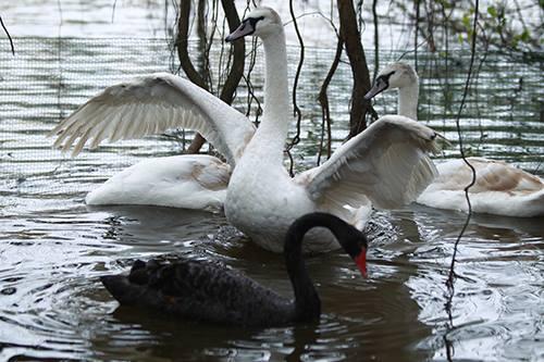 Thiên nga được thả ở Hồ Gươm: GS Lân Dũng lo bị bắt trộm 1