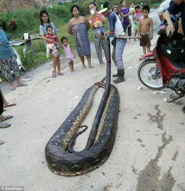 Phát hiện trăn khổng lồ 6m đang ân ái, dân địa phương bắt về làm thịt, xào lên chia cho cả làng - Ảnh 4.