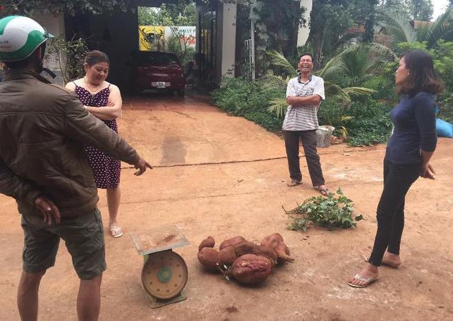 Vứt dây khoai lang ra vườn, 1 năm sau người đàn ông Tây Nguyên nhận về thành quả không ngờ - Ảnh 2.