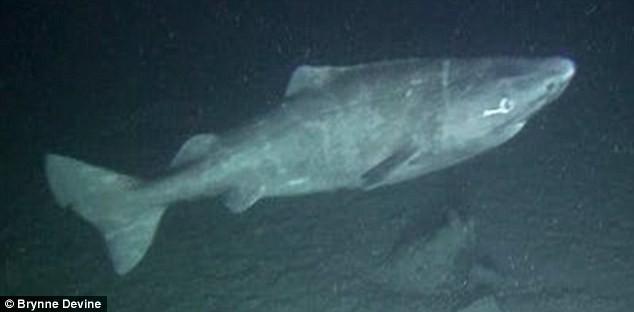 Chiêm ngưỡng thước phim đầu tiên về quái vật 500 tuổi hiếm nhất thế giới: Cá mập Greenland - Ảnh 2.