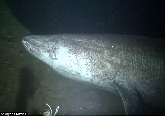 Chiêm ngưỡng thước phim đầu tiên về quái vật 500 tuổi hiếm nhất thế giới: Cá mập Greenland - Ảnh 3.