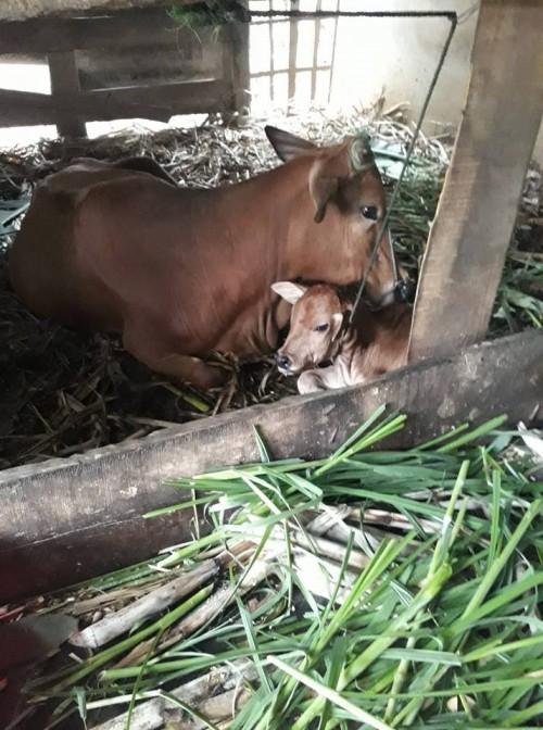 Bò đẻ ra một 'vật lạ' to như đầu trẻ sơ sinh - Ảnh 1.