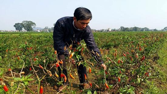 Hình ảnh Ruộng ớt 2000 m2 bị kẻ gian phun thuốc diệt cỏ
