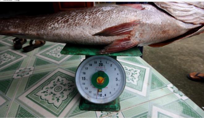 Ngư dân Quảng Nam câu được cá nặng 10kg nghi là sủ vàng quý hiếm 2