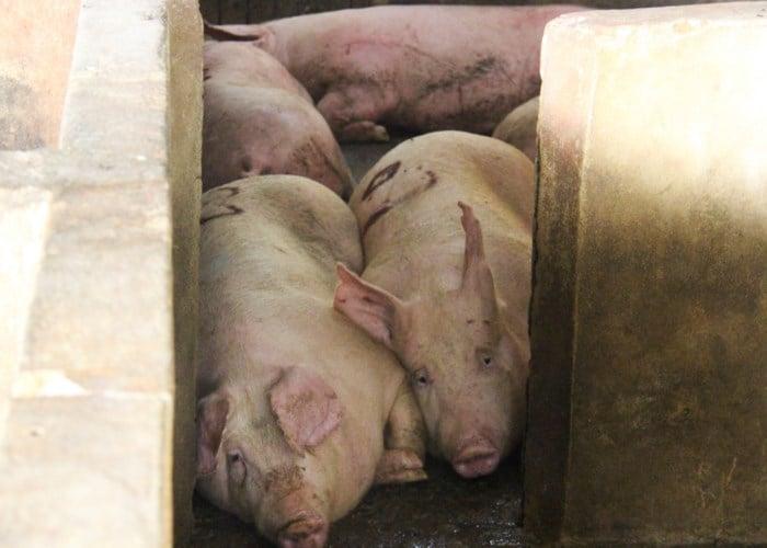 Vụ dân bao vây lò mổ ở Hà Tĩnh: Lợn dương tính bệnh lở mồm long móng 1
