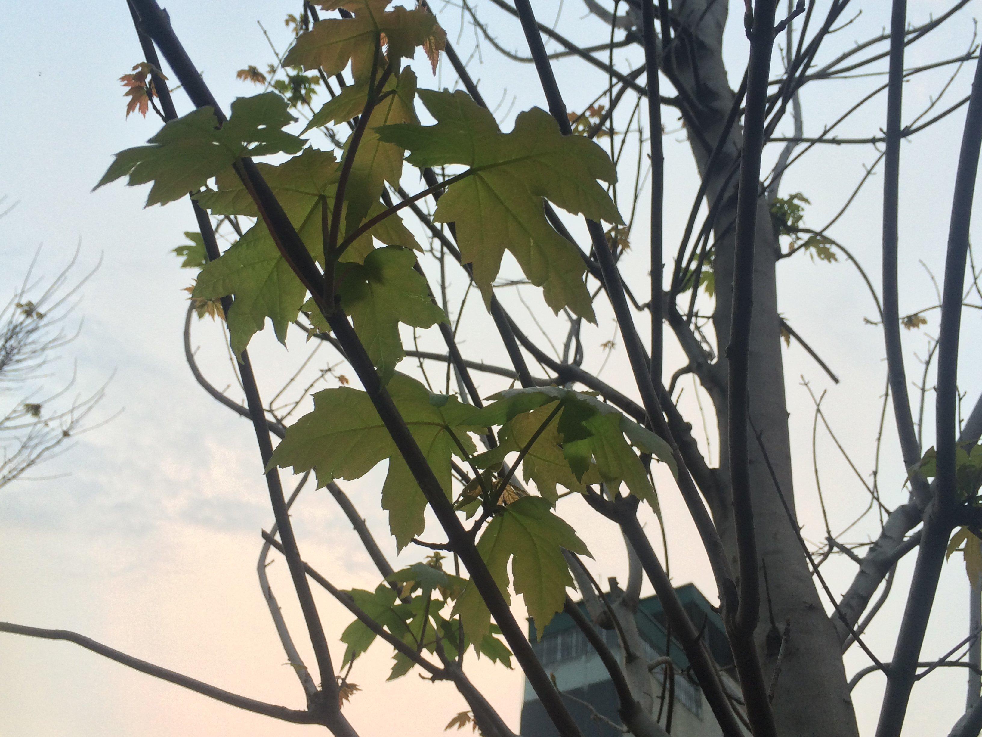 Hàng phong lá đỏ Hà Nội 'bung lụa' sau thời gian ngủ đông 5