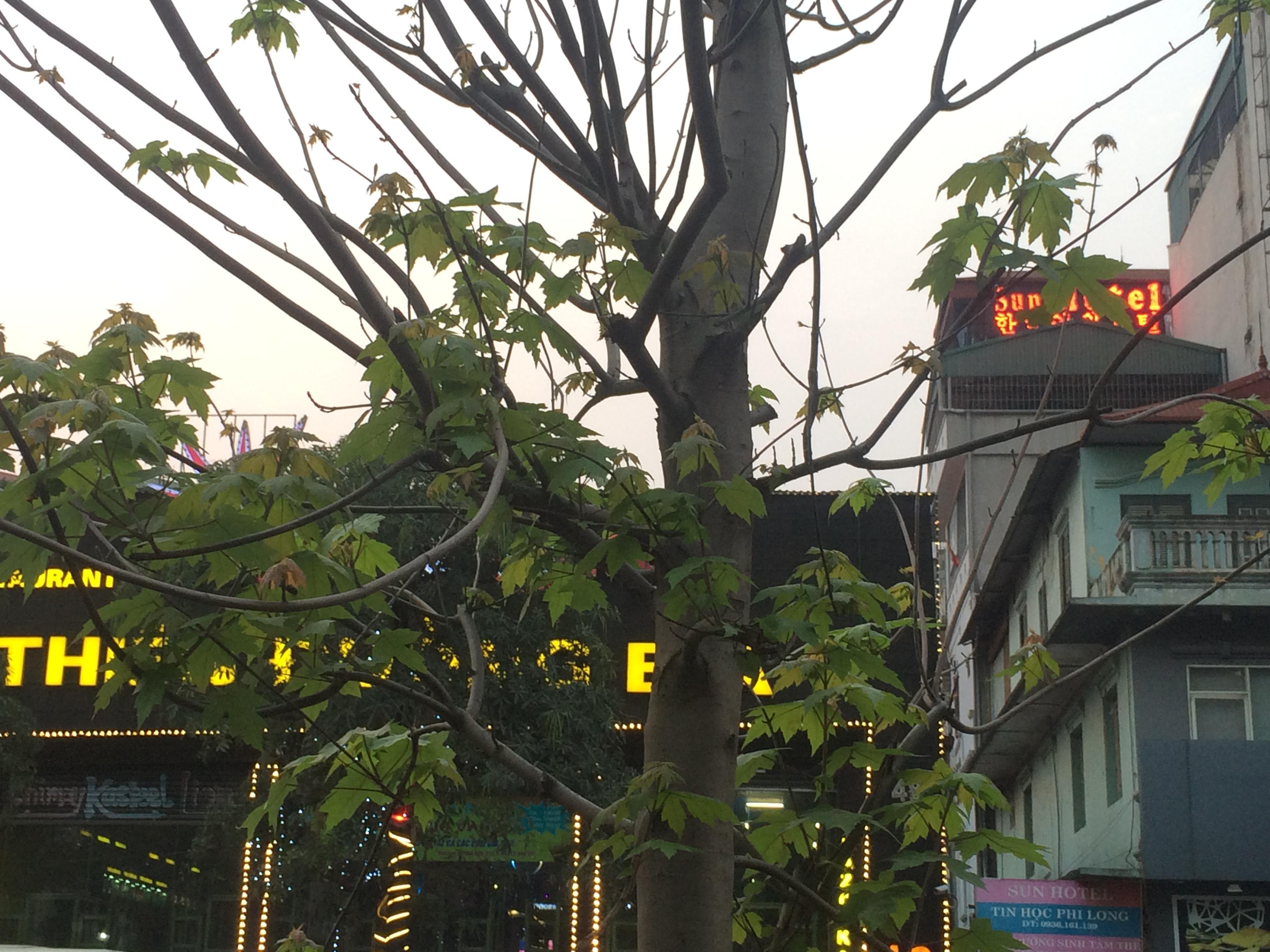 Hàng phong lá đỏ Hà Nội 'bung lụa' sau thời gian ngủ đông 8