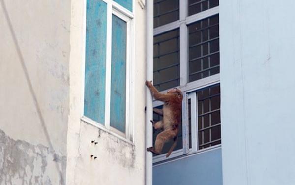 Khỉ hoang xuất hiện quậy phá tại khu dân cư Hà Nội: Cử người dỗ dành, nói chuyện rồi cho ăn nhưng vẫn chưa bắt được 1