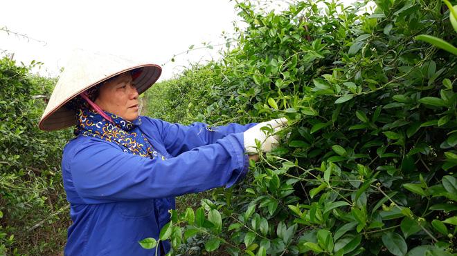 Thế giới công nhận một loại cây ở Việt Nam có nhiều hoạt chất chữa tiểu đường hiệu quả 3