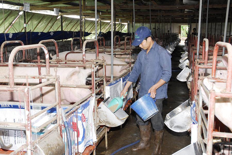 Chính phủ đề xuất quy định nghiêm cấm chăn nuôi trong nội thành, nội thị 2