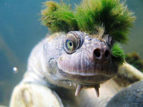 Loài rùa tóc xanh gấu nhất mạng xã hội này sắp tuyệt chủng - Ảnh 1.