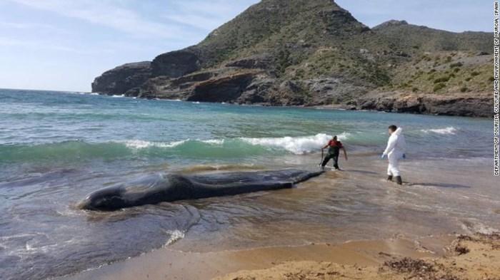 Mổ bụng xác cá nhà táng khổng lồ dạt vào bờ biển, phát hiện nguyên nhân cái chết đáng sợ 1
