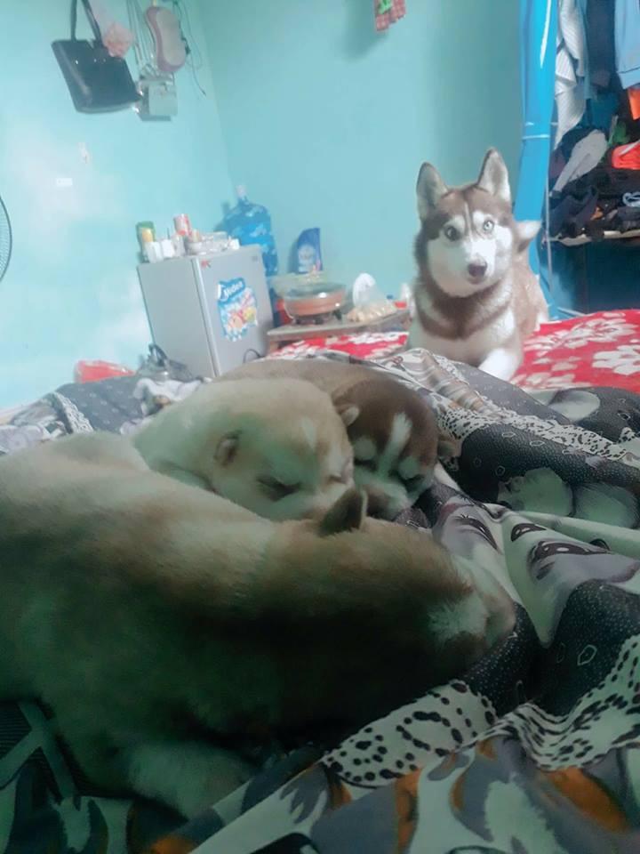 Vừa quen được 1 tháng, cô gái đã bị bạn trai bắt trộm cả 4 chú chó cưng Husky, nhắn tin đòi thì bị dọa tung clip nóng 2