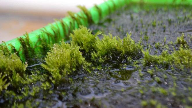 Tác phẩm của mẹ thiên nhiên: Loài rêu có thể lọc hết arsen trong nước đã được tìm thấy 1