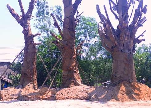 Chính quyền địa phương nói gì vụ 3 cây