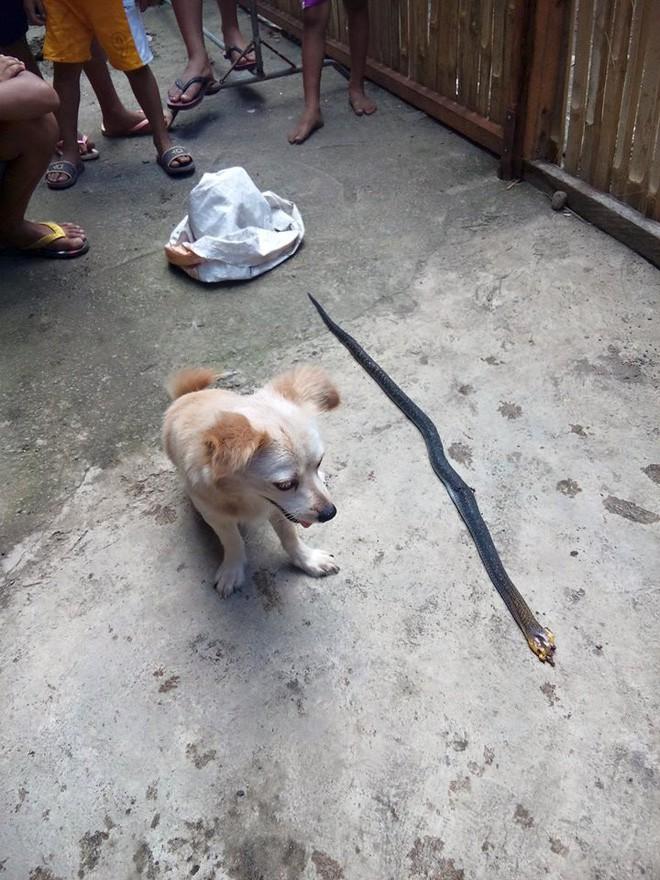 Cô chó dũng cảm cắn chết rắn hổ mang để cứu chủ, nở nụ cười trước khi hi sinh khiến ai cũng phải xúc động 1