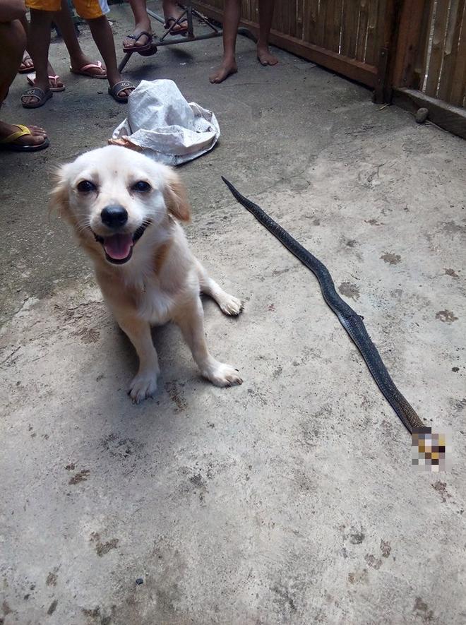 Cô chó dũng cảm cắn chết rắn hổ mang để cứu chủ, nở nụ cười trước khi hi sinh khiến ai cũng phải xúc động 3