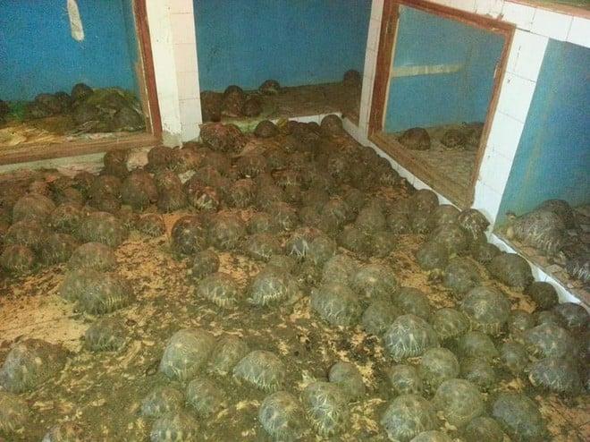 Phát hiện ra hơn 10.000 cá thể rùa cạn bị nhốt trong nhà của thợ săn, có lẽ đã không phát hiện được ra nếu mùi hôi thối không lan rộng ra toàn bộ khu vực 2